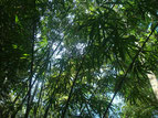 im Bambusdschungel