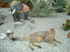 Määu (thail.Katze)