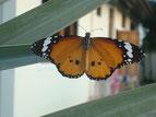 mir unbekannter Schmetterling