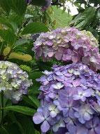 ▲教室の庭に咲く紫陽花の見頃も、あとわずか?!