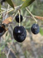 L'olive, amer si cueillie dans l'arbre