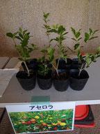 配布植物 アセロラ 写真