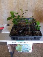 配布植物 トゲバンレイシ 写真