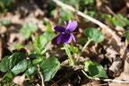 Violette odorante vue au Quaireux, près de Melle, soigne la toux et la constipation, présence de mucilages, utilisée en cuisine