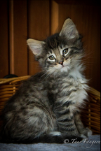 chaton à vendre