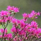 pinkfarbene Blüten an einem Strauch vor grünem Hintergrund
