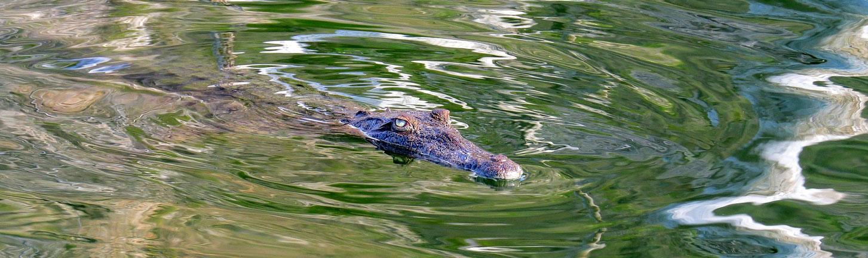 Rhinoceros Iguana,Nashornleguan, Cyclura cornuta, Laguna de Oviedo
