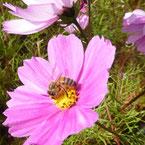 abeille butinant cosmos pour miel et goûter d'antan en deux-sevres
