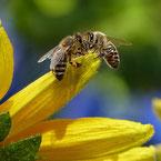 abeilles butinants tournesol pour miel et goûter d'antan en deux-sevres