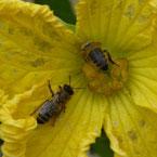 abeille butinant fleur de courge pour miel et goûter d'antan en deux-sevres