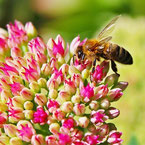abeille butinant fleur pour miel et goûter d'antan en deux-sevres