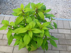 Fruchtsalbei mit hellgrünen Blättern, Foto Kirnstötter