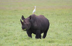 definition big five rhinoceros