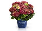 ©Magical Four Seasons, Hortensia Ruby Tuesday