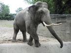 Bild: Hagenbecks Tierpark - Elefant