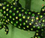 3/1 dunkelgrün / gelb doppelt gefleckt