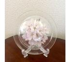 皿S 桜/ φ150×60W ¥6500