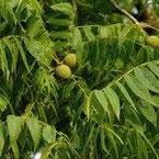 zwarte walnoot, juglans nigra, notenboom, notenbomen