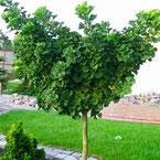 japanse notenboom, ginkgo biloba, notenboom, notenbomen