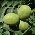 walnoot, juglans regia, notenboom, notenbomen