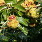 tamme kastanje, castanea, notenboom, notenbomen