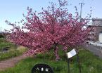 厚別川河川敷の八重桜並木の1本