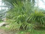 Rhapydophyllum hystrix