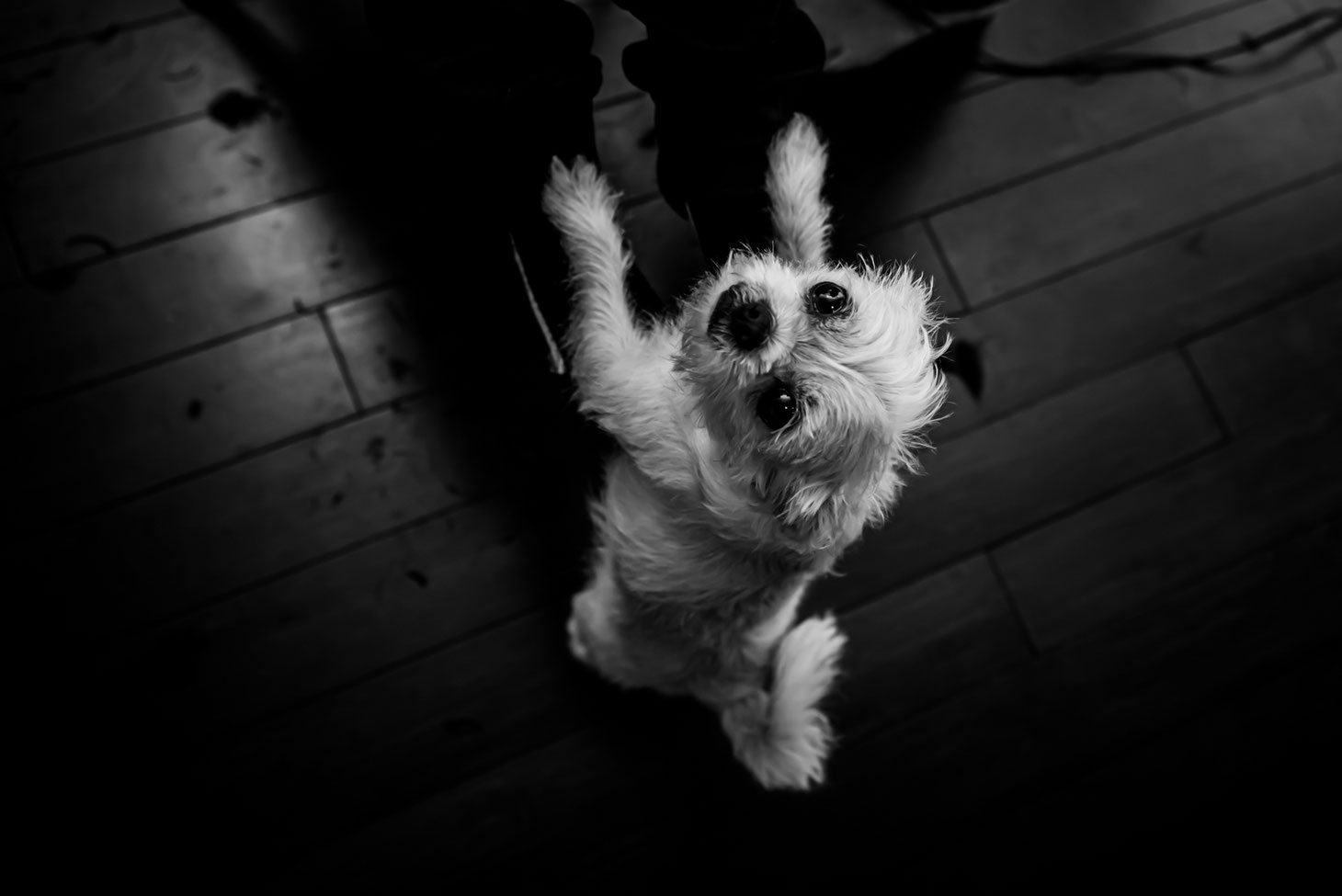 Black and white photo of a dog taken from above. Dog's front paws are on child's legs as he tries to get picked up. Pieces of hair are on the floor around the dog.