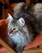Chat des Forêts Norvégiennes - brown mackerel tabby - chatterie des Glières