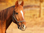 P - wie Pferd