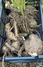 Yacon Knollen und Rhizom (Vermehrungswurzel der Yacon) in einer Kiste nach der Ernte