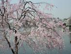 b' さん:東京都大田区・洗足池