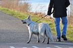 Un chien berger blanc suisse en laisse promené sur la route par son maître par coach canin 16 educateur canin a cognac