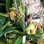 Comment arroser l'orchidée paphiopedilum