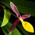 Comment arroser l'orchidée bulbophyllum