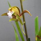 Comment arroser l'orchidée cymbidium