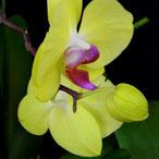 Comment arroser l'orchidée phalaenopsis
