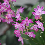 Comment arroser l'orchidée dendrobium phalaenopsis