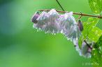 ウツギ(卯の花)