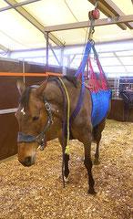 Bei diesem Pferd sind die Nerven hochgradig befallen. Das Pferd ist nicht in der Lage selbstständig zu stehen und sich zu bewegen. Wie sehr es leidet, ist an seinem Gesichtsausdruck zu erkennen. Foto: ACP