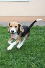 Lennox (18 Wochen alt)