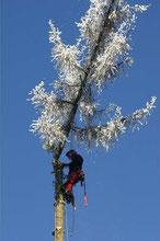 Baumfällung/ Baumabtragung mittels Seilkletterer