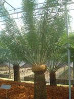Cycas pectinata Thailand