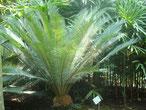 Cycas pachypoda Vietnam