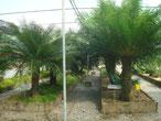 Cycas ruiminiana Philippinen