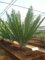 Encephalartos turiensis