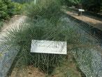 Zamia angustifolia Bahamas