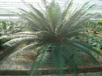 Cycas fairylakea China