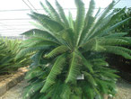 Dioon spinulosum Mexico
