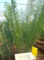 Encephalartos barteri